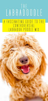 Dog Breed Exercise Chart Labradoodle Dog Breed Information A Guide To The Labrador