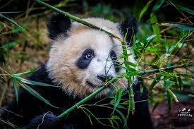 panda bamboo chengdu china