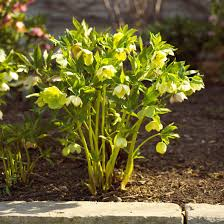 early spring perennials.  Perennials Hellebore For Early Spring Perennials H
