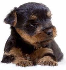 baby yorkshire terrier. Interesting Baby Birth To 3 Weeks Old With Baby Yorkshire Terrier