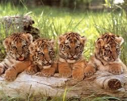 cute baby tiger. Wonderful Cute Cute Baby Tigers  By Emeraldeyes52 Throughout Baby Tiger A