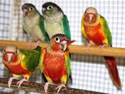 Sun Conure Growth Chart Breeding And Rearing