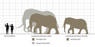 African Bush Elephant Wikipedia