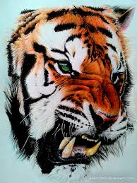 color tiger drawing. Beautiful Tiger Tiger Color Pencil Drawing By Ankredible  For Color Drawing N