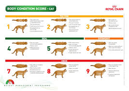 Cat Body Shape Chart Is My 12 Pound 9 Month Old Kitten Overweight Pics