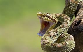 snake mouth profile. Perfect Profile Snakes Open Mouth Reptiles Wallpaper For Snake Mouth Profile T