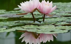 صور زهرة اللوتس المشهورة الجميلة
