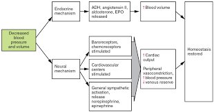 Pathway Of Blood Flow To The Right Kidney Flow Chart 20 4 Homeostatic Regulation Of The Vascular System Anatomy