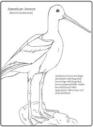 avocet animal coloring pages