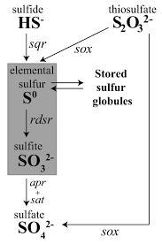 Sulfur Oxidation Genes In Diverse Deep Sea Viruses Science