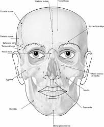 face anatomy elements of morphology human malformation terminology