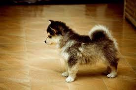 pomeranian husky miniature. Exellent Husky Pomeranian Husky Throughout Pomeranian Husky Miniature E