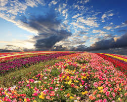 visit the flower fields carlsbad cookie pany