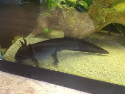 Small Picture Photo Axolotls changing color Caudataorg