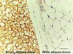 Images & Illustrations of brown adipose tissue