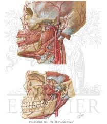 arteries of the face vascular supply of the face arterial supply