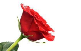 beautiful flowers hd wallpapers rose flower wallpaper hd free