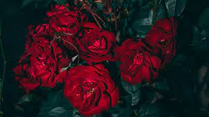 HD Aesthetic Roses Wallpaper (Page 3 ...