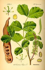 Ceratonia siliqua - Wikipedia, la enciclopedia libre