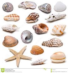 sea shells collection seashells collection stock photo image of crustaceans 18695622