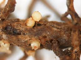 Soybean Cyst Nematode Resistance Management Field Crops