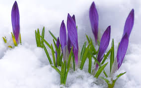 Image result for snow winter season flower images