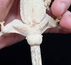 Gecok genjer / leopard gecko with fudgee s reptiles and exotics facebook : Sexing Geckos How To Pangea Reptile