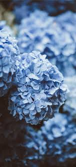 blue flowers iPhone 12 Wallpapers Free ...