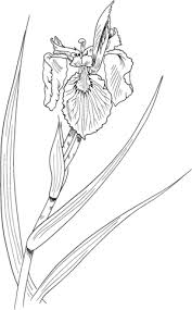 Iris Pseudacoros Of Gele Iris Kleurplaat Gratis Kleurplaten Printen