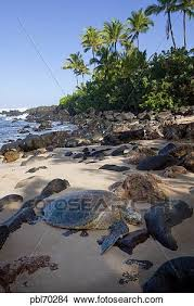 Hawksbill Turtle Laniakea Beach North Shore Oahu Hawaii Hawksbill Turtle Laniakea Beach North Shore Oahu Hawaii Hawksbill Turtle Laniakea