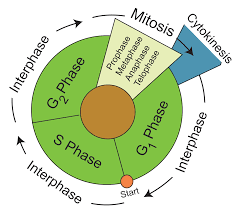 Cell Cycle Diagram Wiring Diagram
