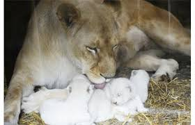 newborn white lion cubs. Contemporary Newborn Newborn White Lion Cubs Are Pictured With Their Mother At The Zoological  Park Of Eastern  And White Lion Cubs