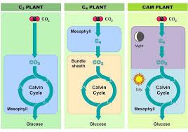 C3 C4 And Cam Plants Bioninja