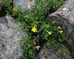 Jasminum fruticans | Wild Jasmine| plant lust