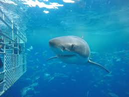 job opportunity calypso star charters shark cage diving  no automatic alt text available
