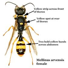 Bee And Wasp Identification Chart Uk Beginners Bees Wasps Mellinus Arvensis Field Digger