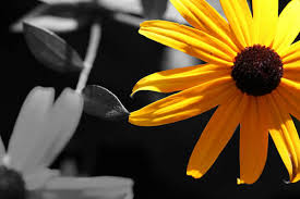 black and white photography with color flowers. Unique And Yellow Flower On Black And White Photography With Color Flowers O