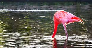 Flamingo Facts - 50 Awesome Facts for Your School Project
