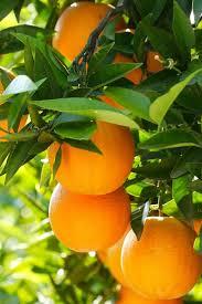fruit tree oranges leaves 750x1334