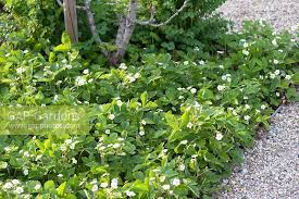wild strawberries used as ground cover