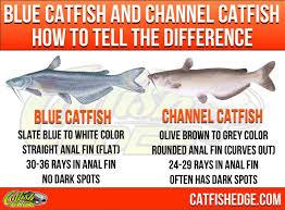 Breeds Of Catfish Best Cat Wallpaper