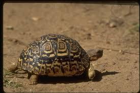 Leopard Tortoise Size Chart Leopard Tortoise Encyclopedia Of Life