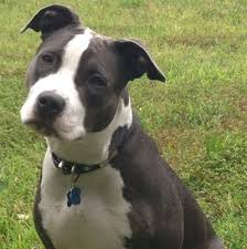 pitbull dog blue nose black and white. Interesting Nose Image Result For Black U0026 White Pitbull Black Pitbull Puppies Pit Bull  Dogs On Dog Blue Nose And White P