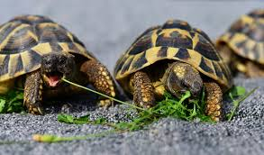 10 Awesome Tortoise Species With Pictures The Complete Guide
