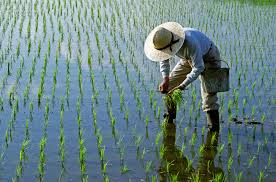Image result for paddy fields