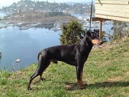 Manchester Terrier Size Chart Manchester Terrier Dog Breed Standards