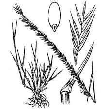 Genere Nardurus - Flora Italiana