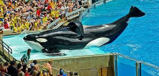 tilikum isolated. Wonderful Isolated November 14 Is International Free Tilikum Day Inside Isolated I