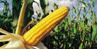 The Beginners Guide To Growing Corn How To Grow Corn