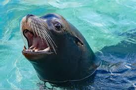 Kunci jawaban lks intan pariwara ku. Release Saint Louis Zoo S First Bank Sea Lion Shows Begin Friday With Spring Training Clayton Times